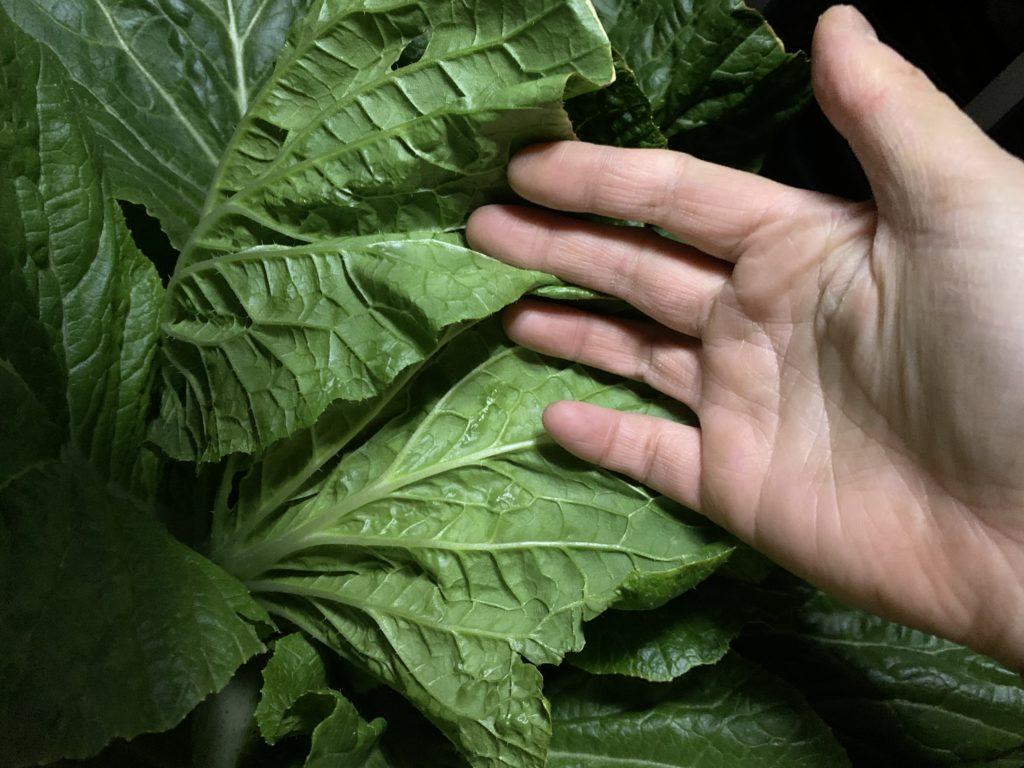 白菜の葉っぱの裏側に害虫がいないかチェックする様子