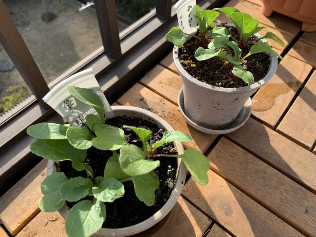 小さいプランターで栽培しているはつか大根(ラディッシュ)
