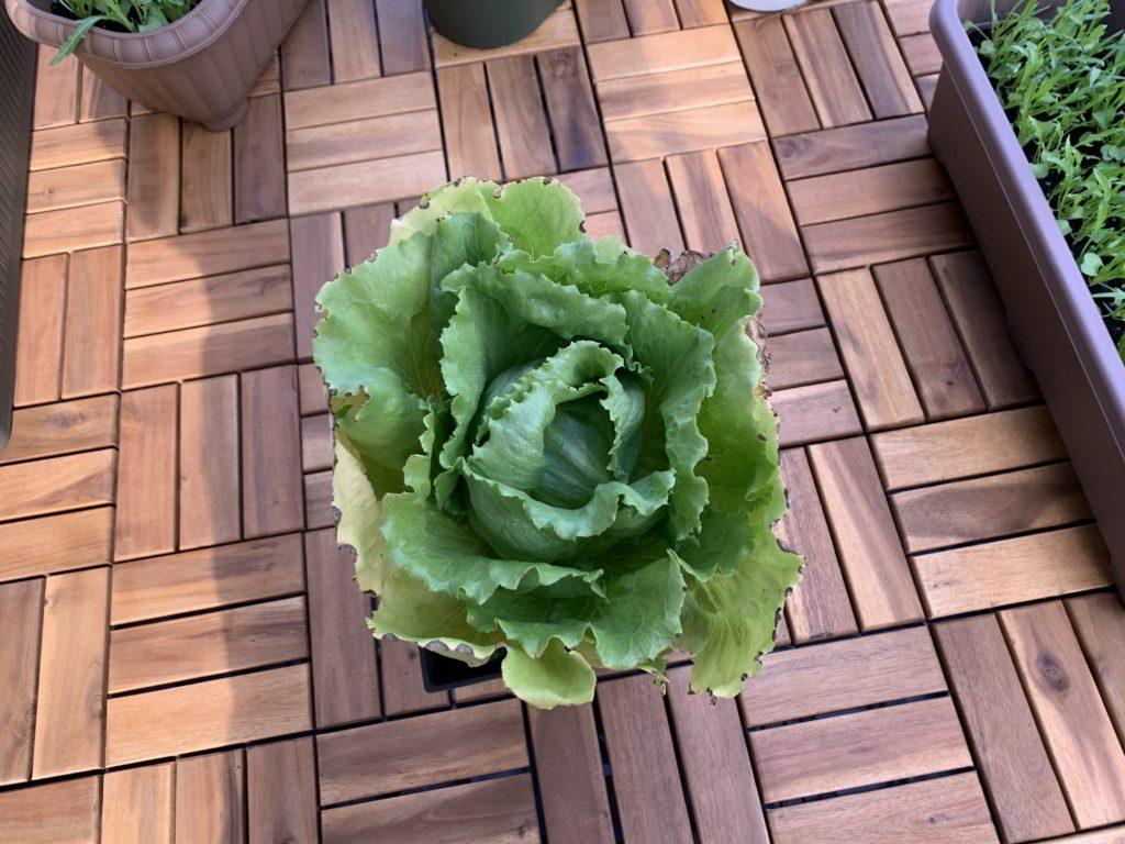 真ん丸に結球したプランターで栽培したレタス