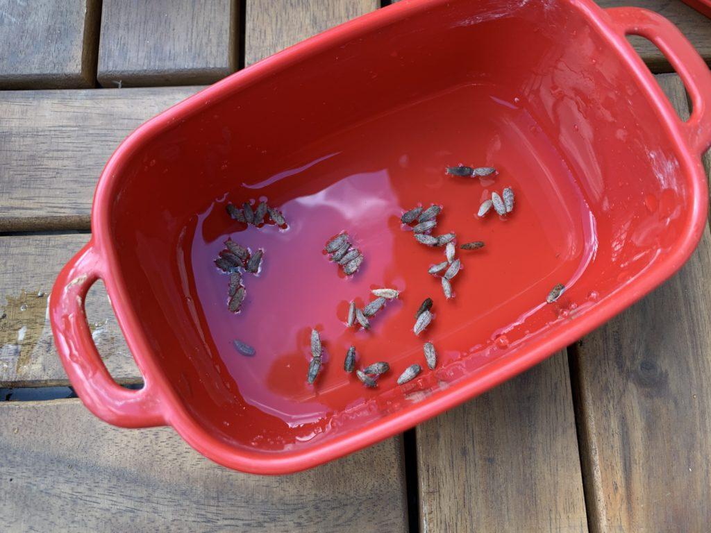 容器に入れた水の中に入れたごぼうのタネ