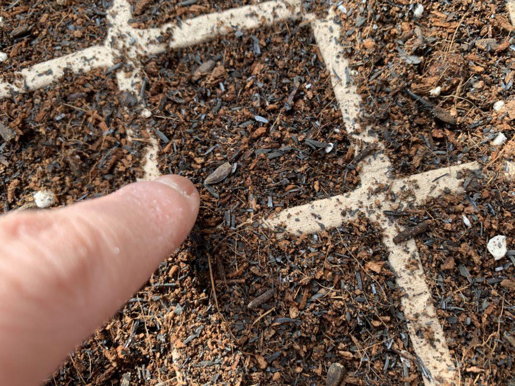 培養土の上にまいたごぼうのタネ