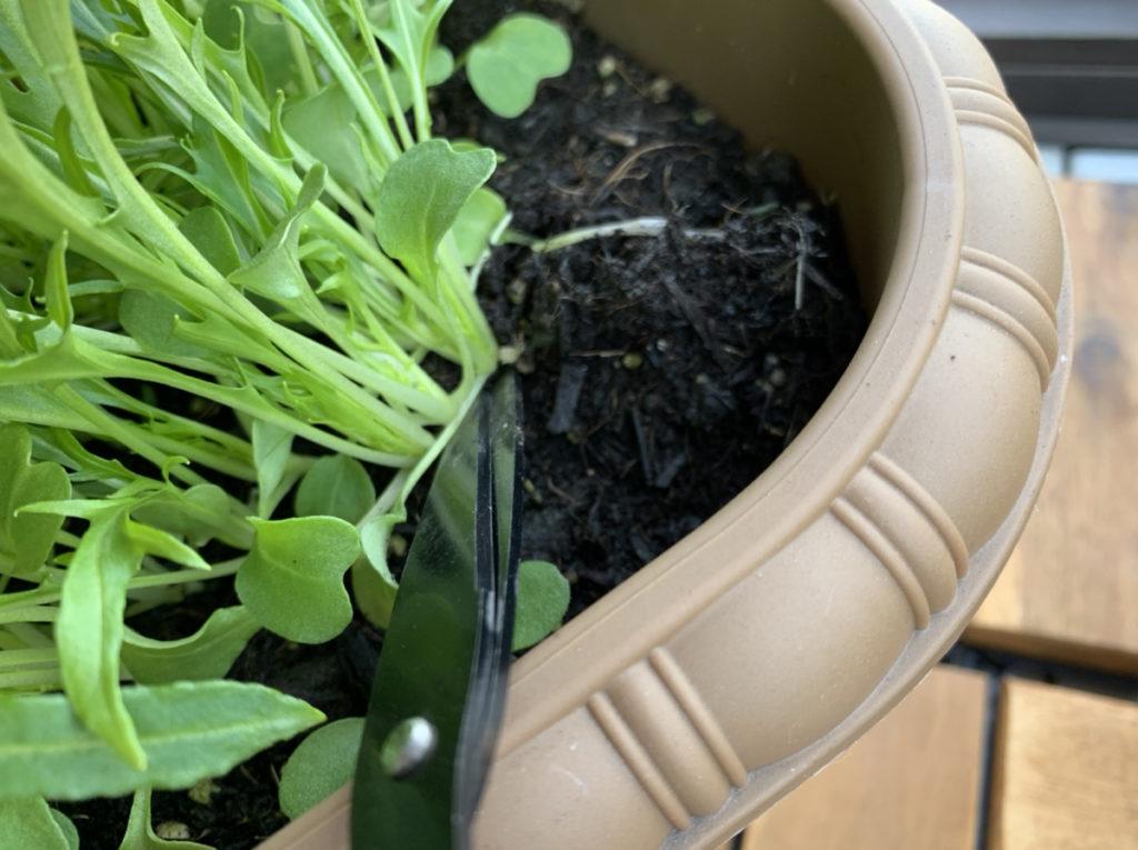 プランターの水菜をハサミで収穫する様子