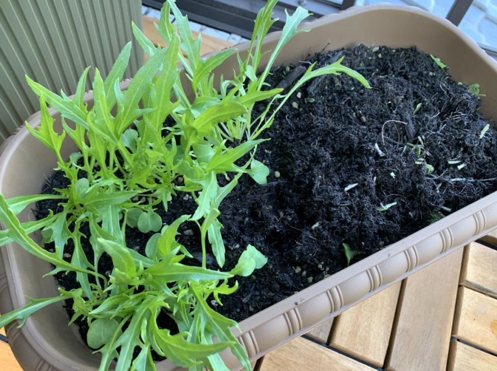 半分ほど収穫したプランターで栽培した水菜