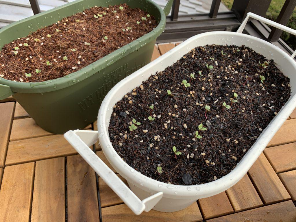 ルッコラを栽培しているプランター