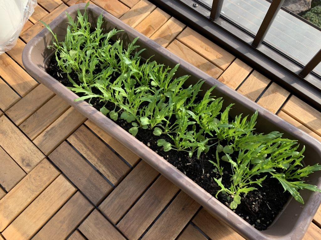 長方形のプランターで栽培しているサラダ京水菜