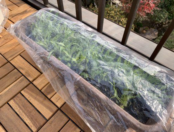 ビニール袋に入れたサラダ京水菜のプランター