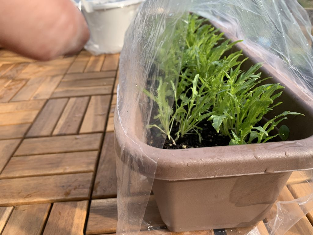 トンネル風にビニールをかけたサラダ京水菜のプランター