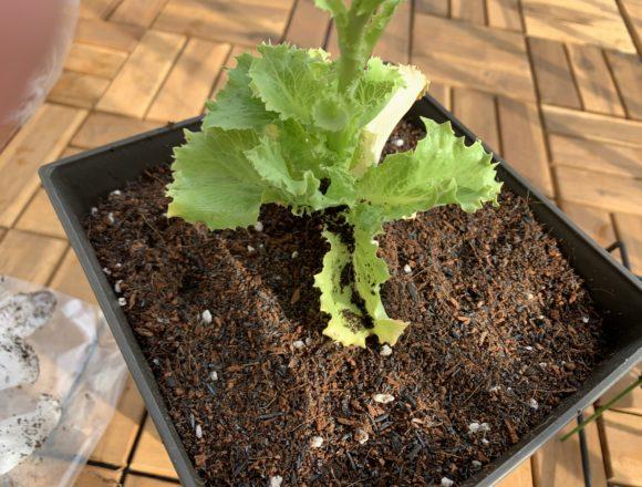 プランターに移植した水耕栽培のレタス