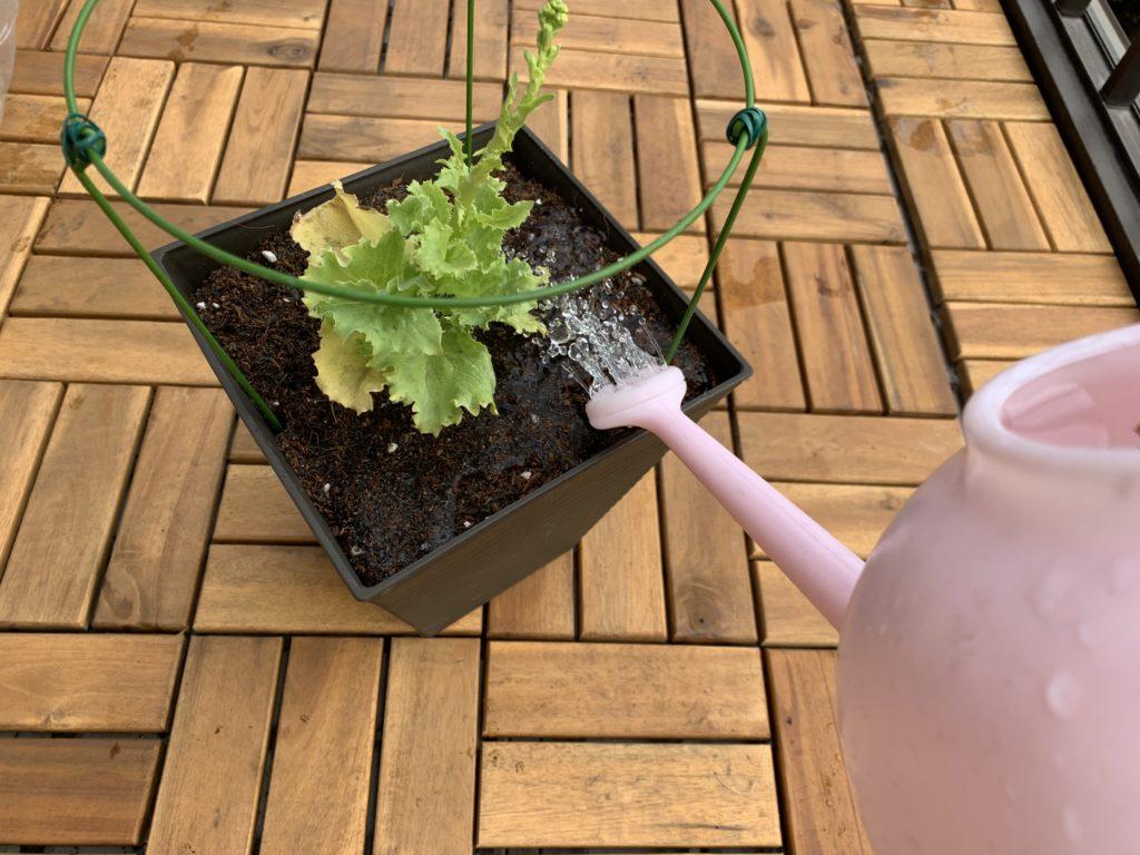 レタスを植えたプランターにお水をあげる様子