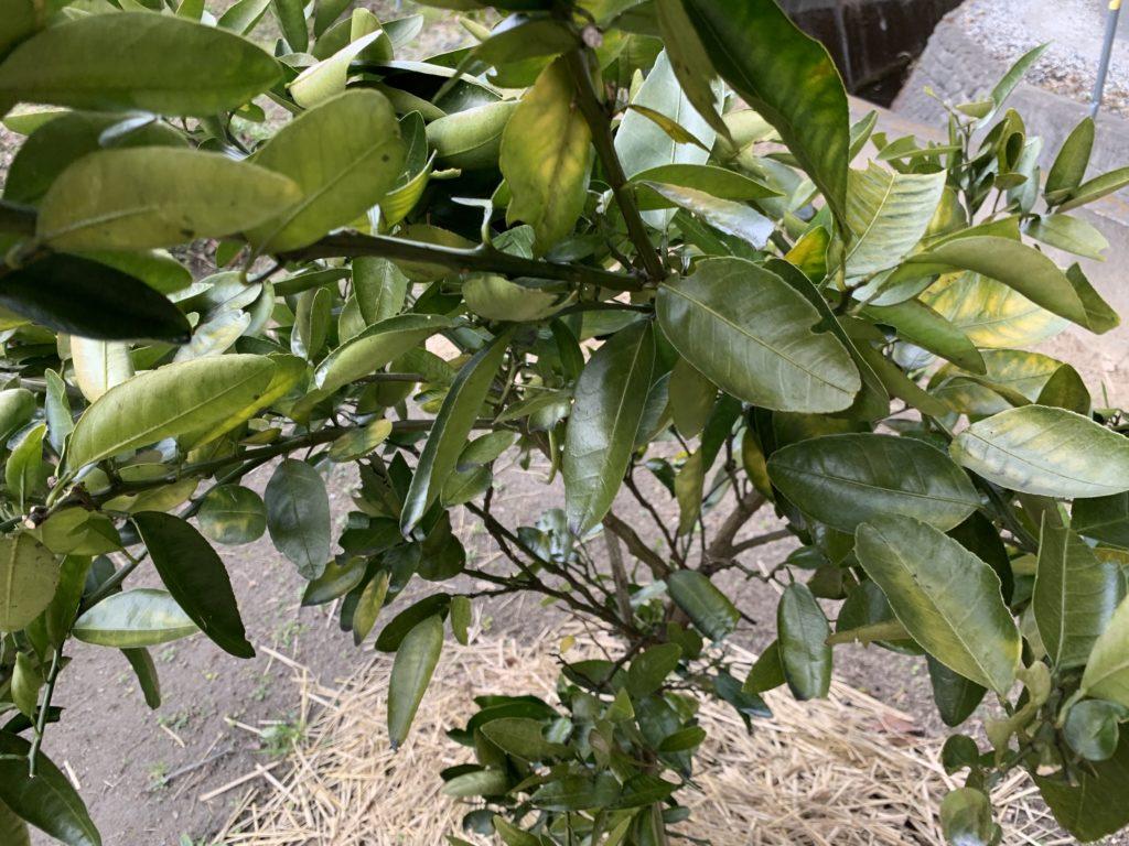 果実を収穫して葉っぱだけになった伊予柑の木