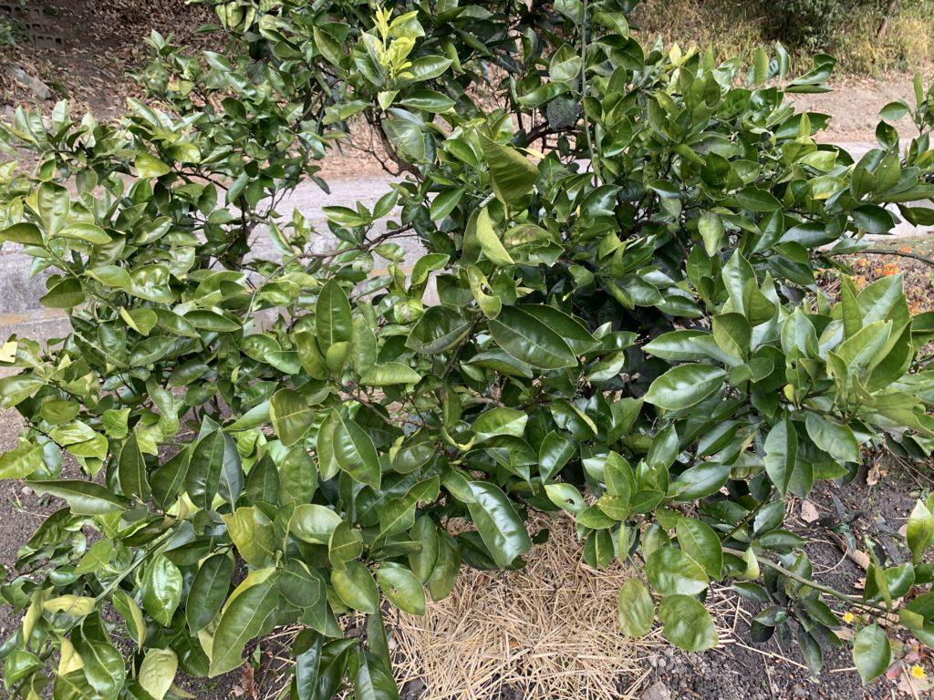 果実を収穫して葉っぱだけになったネーブルオレンジ