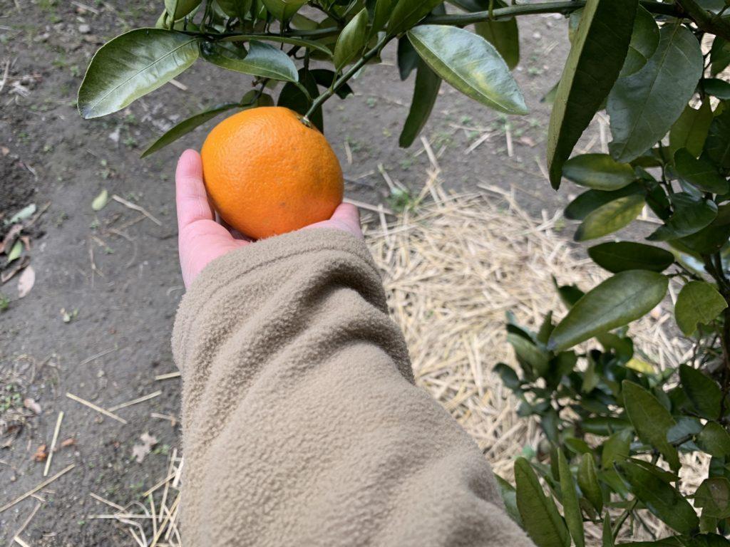 黄色になった伊予柑を収穫する様子