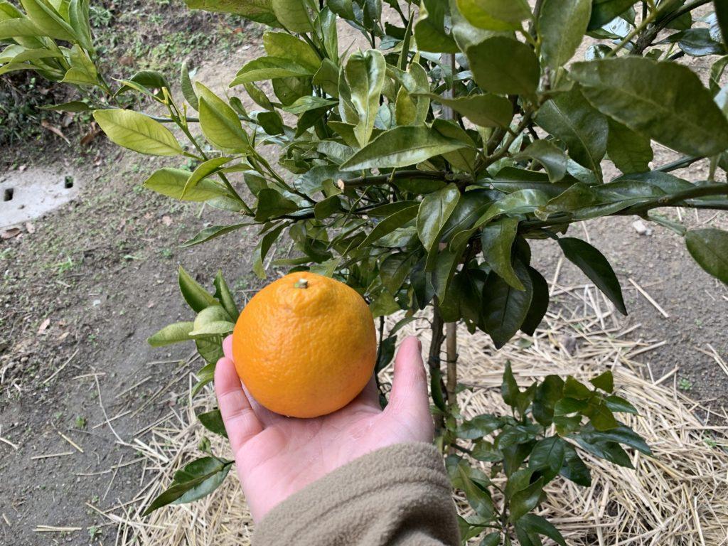 木から収穫したデコポンの果実
