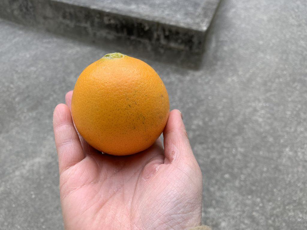 収穫したネーブルオレンジ