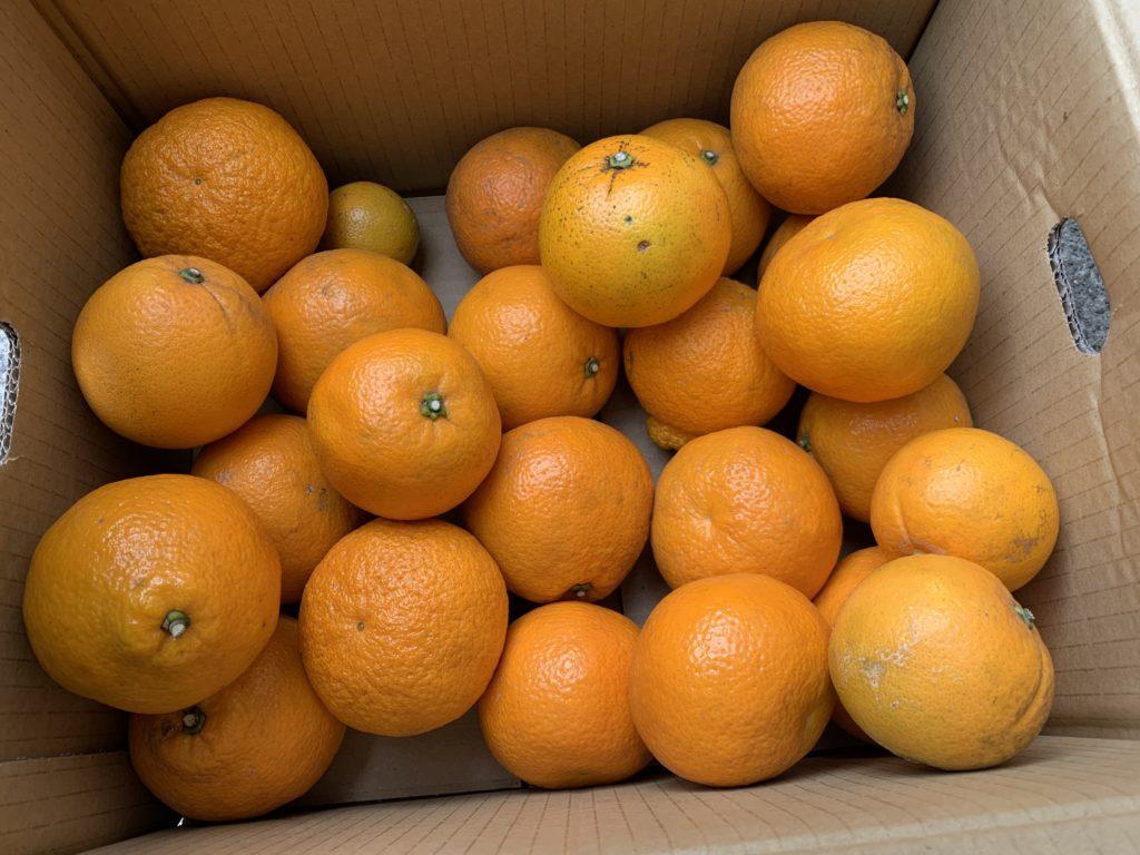 収穫して箱に入れた伊予柑・デコポン・ネーブルオレンジ