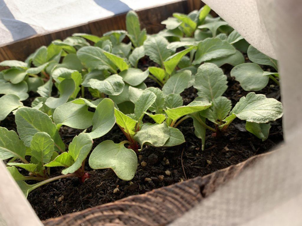 不織布カバーをかけたプランターで栽培中のはつか大根(ラディッシュ)