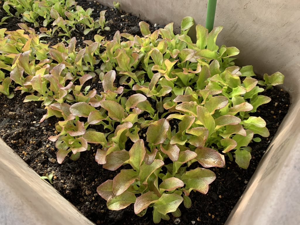 不織布カバーをかけたプランターで栽培中のサニーレタス