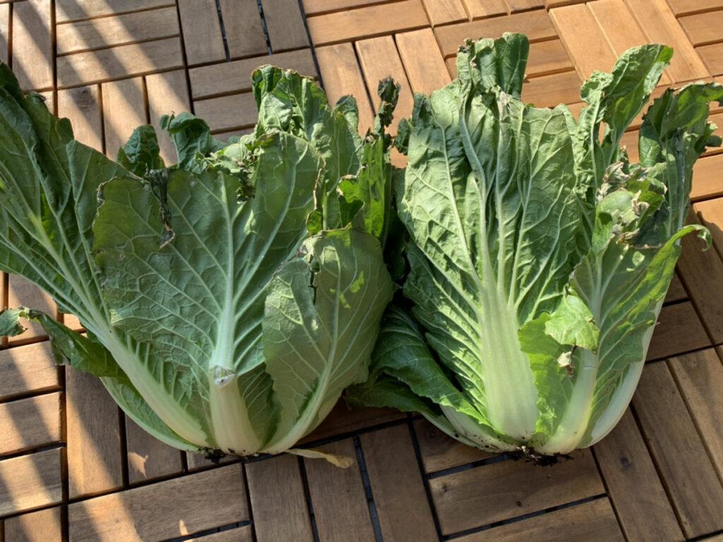 収穫したばかりの白菜