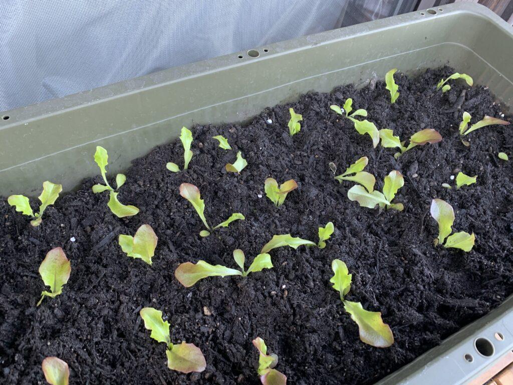 植え替えをしたばかりのサニーレタスの苗