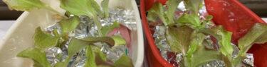 日当たりの良い窓際に置いた水耕栽培で育てているサニーレタス