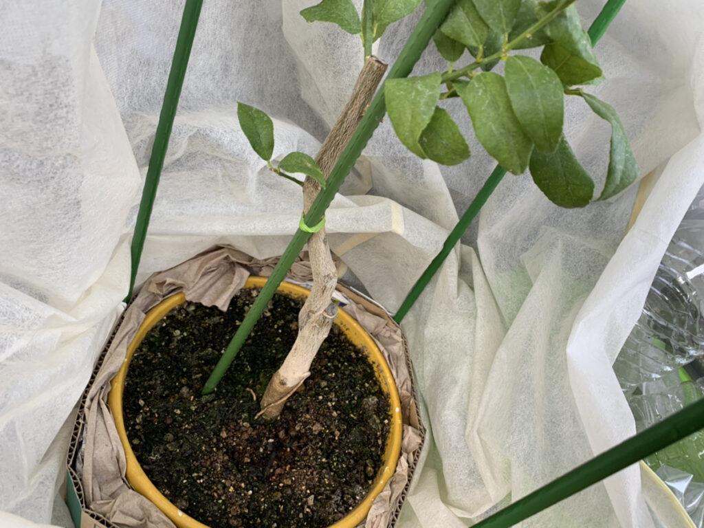 防寒対策を施したレモンの木