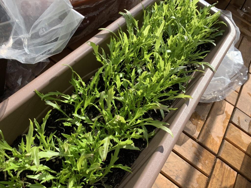 真冬に栽培している水菜のプランター