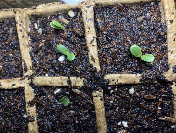 芽の色が濃くなり双葉がしっかりしてきたごぼうの芽