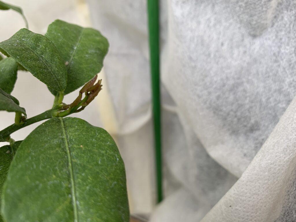レモンの木から出た芽