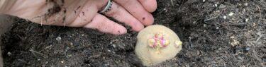 種芋を培養土の中に入れる様子