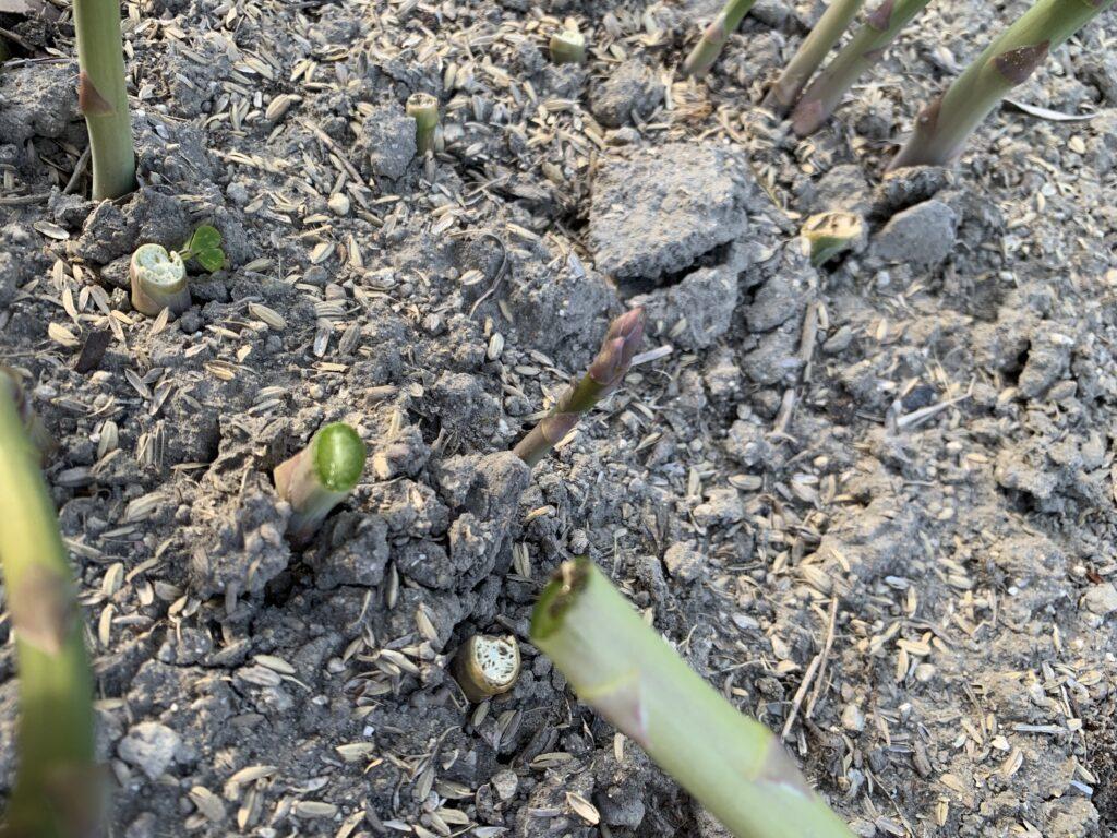 茎もみずみずしいアスパラ