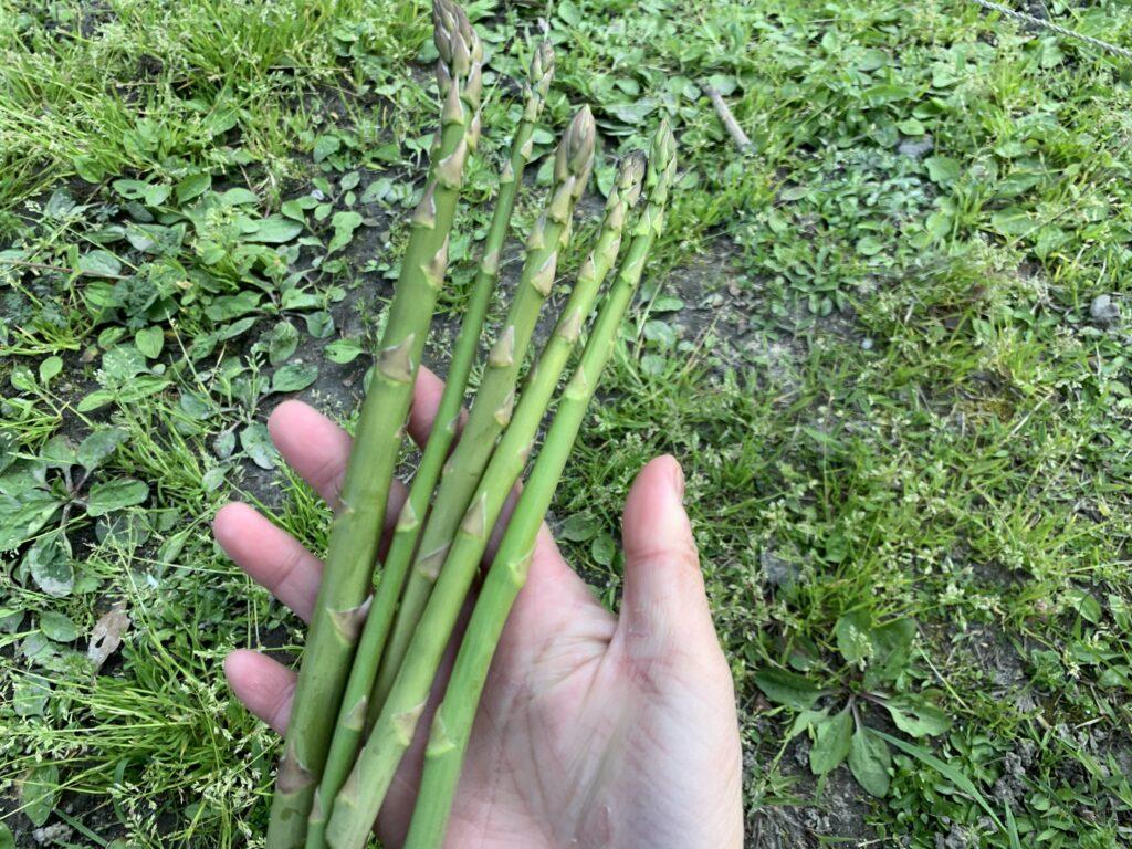 畑で収穫したアスパラ