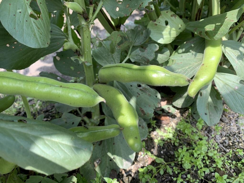 大きく成長したそら豆