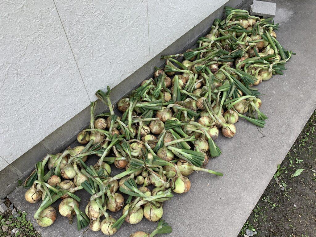 収穫後、乾燥させている玉ねぎ