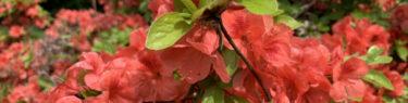 満開に咲いた自生のツツジ