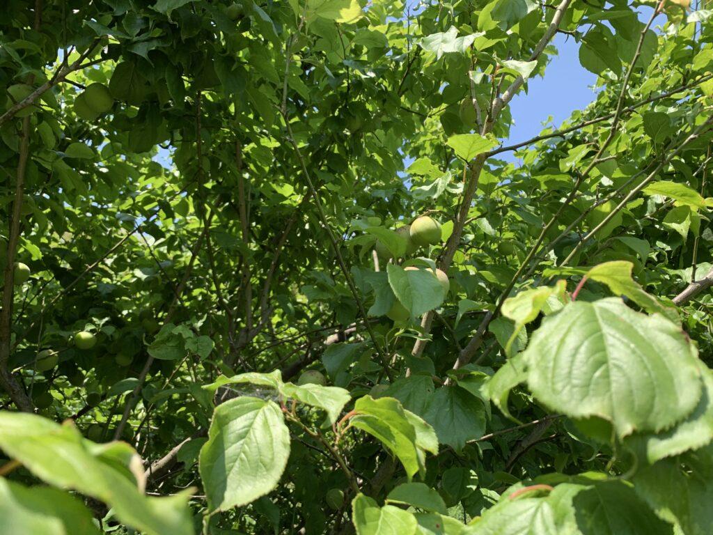 たくさん実がなった梅の木