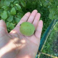 手のひらにのせた収穫したばかりの梅の実