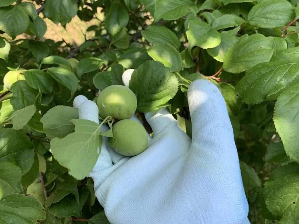 収穫したばかりの梅の実