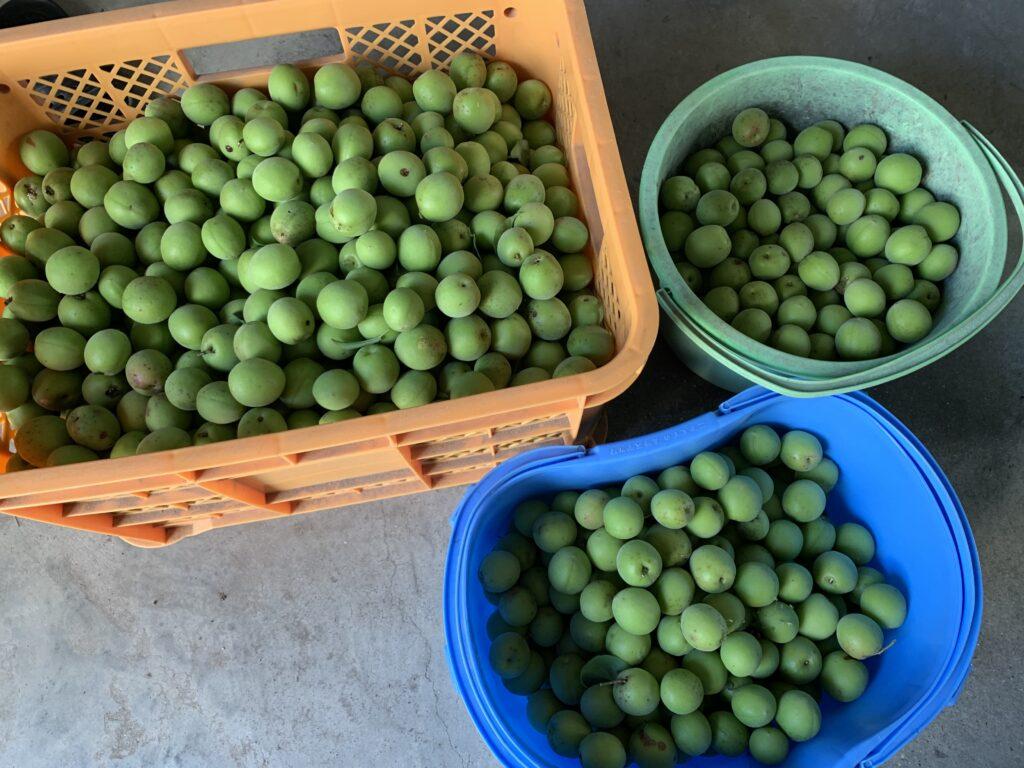 コンテナいっぱいに収穫した梅の実