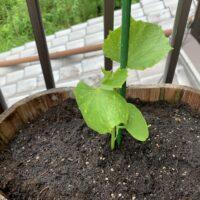 きゅうりの苗に支柱を固定した様子