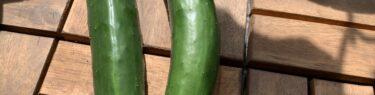 ベランダ菜園のプランターで収穫したきゅうり