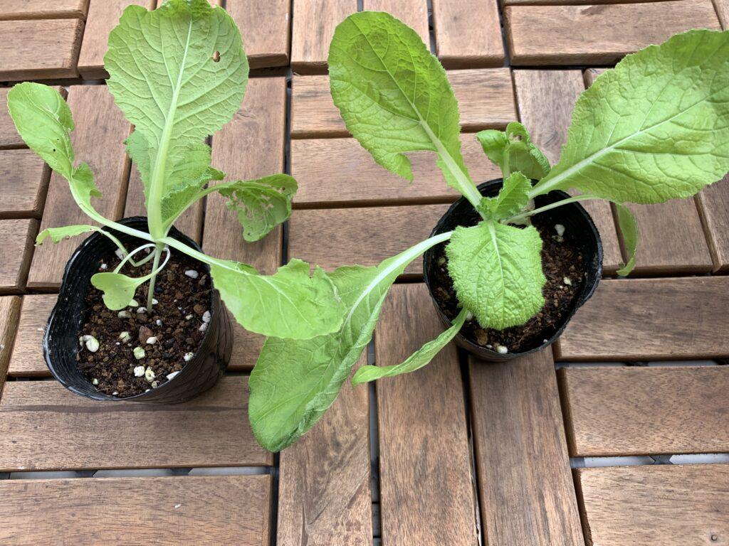 タネから育てた白菜の苗
