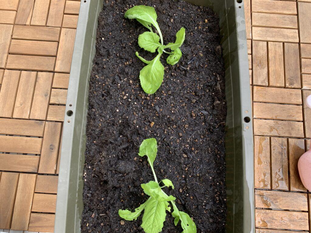 白菜の苗を植えた大きなプランター
